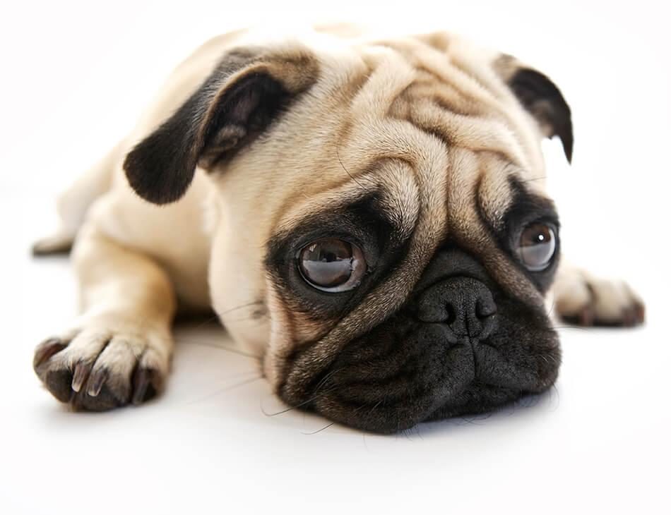 Sad Pug